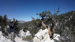 Pic 1: Growing in the harshest of environments, this gnarly old Bristlecone Pine gets his picture taken by Ed February.