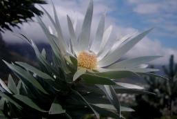 Pic 5: Leucadendron argenteum has remarkably silver leaves.