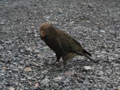Pic. 5: A Kea (Nestor notabilis) on the South Island.