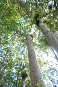 Pic. 2: Kauri (Agathis australis) trees in Hunua Falls Reserve close to Auckland, North Island.