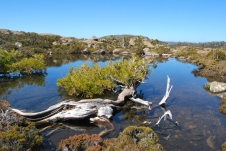 Pic 2: Athrotaxis selaginoides (pencil pine) at home in a tarn in Tasmania.