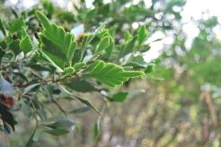 Pic 3: Phyllocladus asplenifolius has stems which look like leaves.