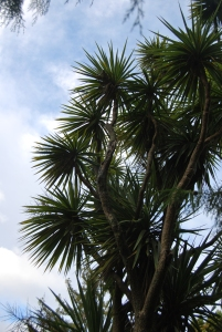 Pic 2: This New Zealand cabbage tree (Cordyline) looks nothing like South Africa's cabbage tree (Cussonia).