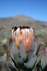 Protea, a wonderfully diverse genus in South Africa's Fynbos.