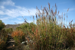 Restios are highly diverse in fynbos, which makes these communities more resilient to change. Photo: R. Skelton