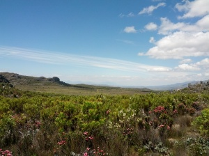 Plants in South Africa's Western Cape area have tremendous variation in their sensitivity to drought. Photo: A. Betzelberger.