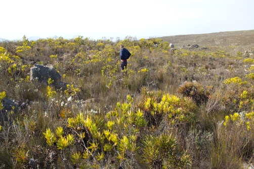 Studies were conducted to determine how plants like the Protea adapted to drought. Photo: A. West.